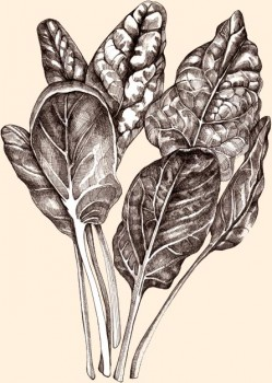 Espinafres Ricos em ácido fólico, ferro, carotenóides e luteína. Foi adicionado pela sua grande versatilidade. É parte do nosso GARDEN PACK.